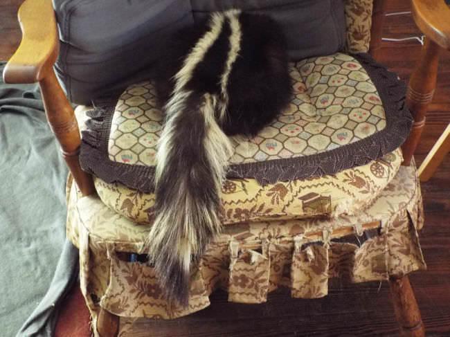 Ein Stinktier auf einem Stuhl