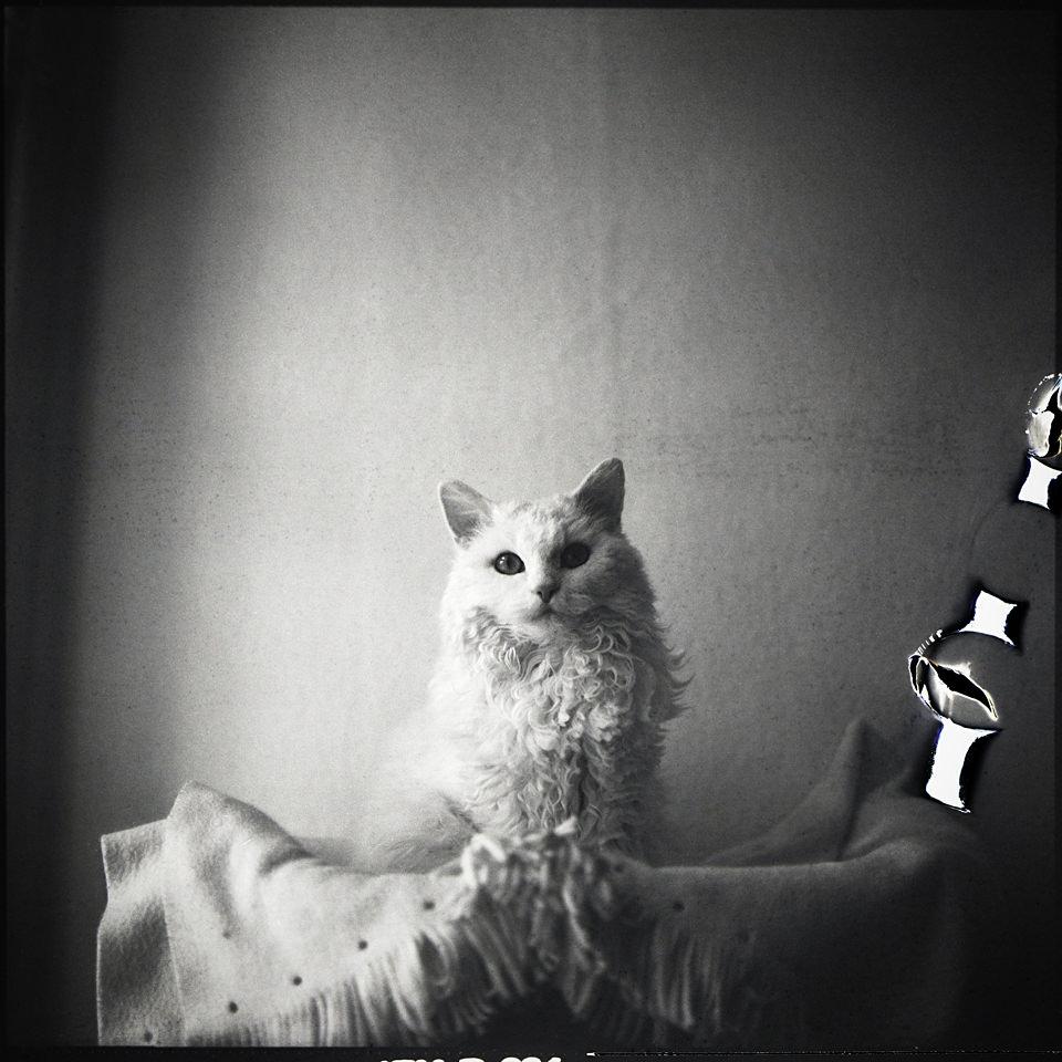 Eine weiße Katze schaut direkt in die Kamera.