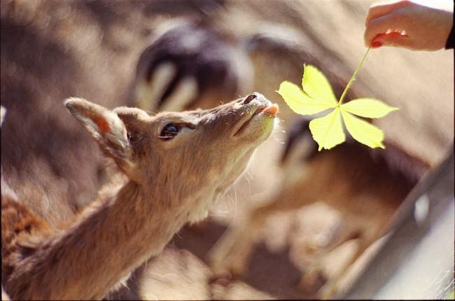 Reh wird ein Kastanienblatt hingehalten.