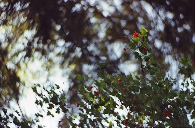 Ast mit grünen Blättern und roten Beeren.