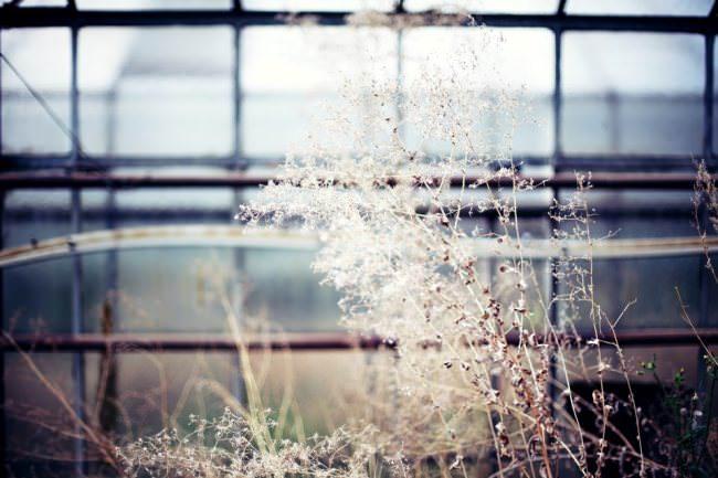 Trockene Pflanzen vor Fenstern