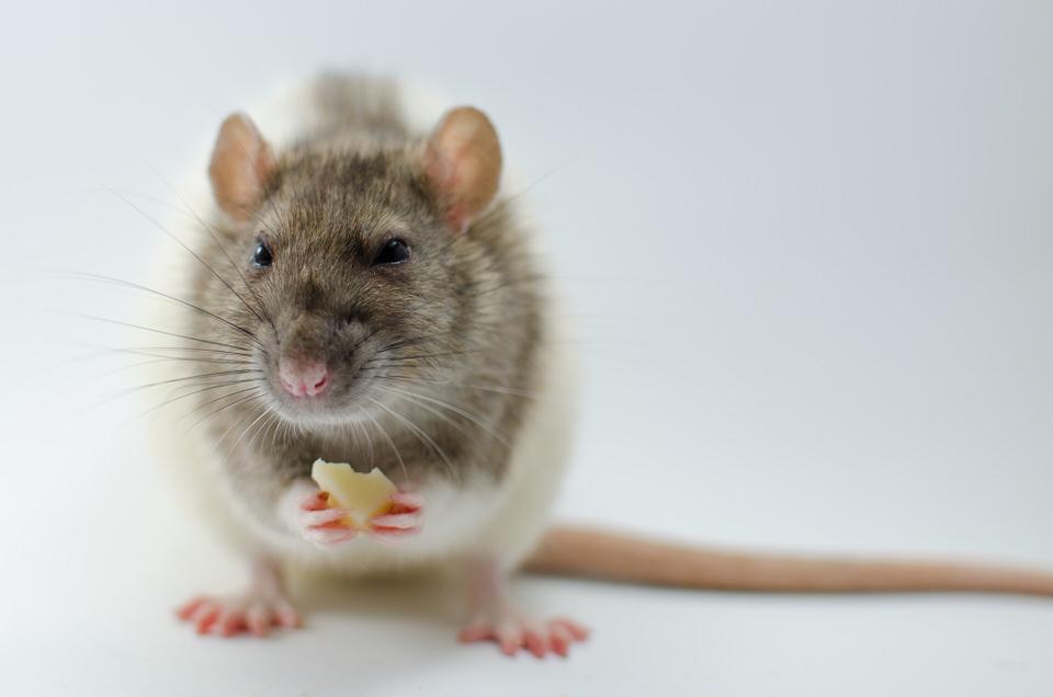 Eine Ratte mit einem Stückchen Käse zwischen den Pfoten.
