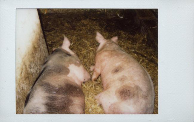 Zwei Schweine im Stall liegen nebeneinander.