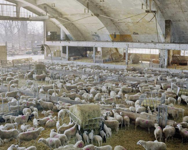 Schafe in einem Stall