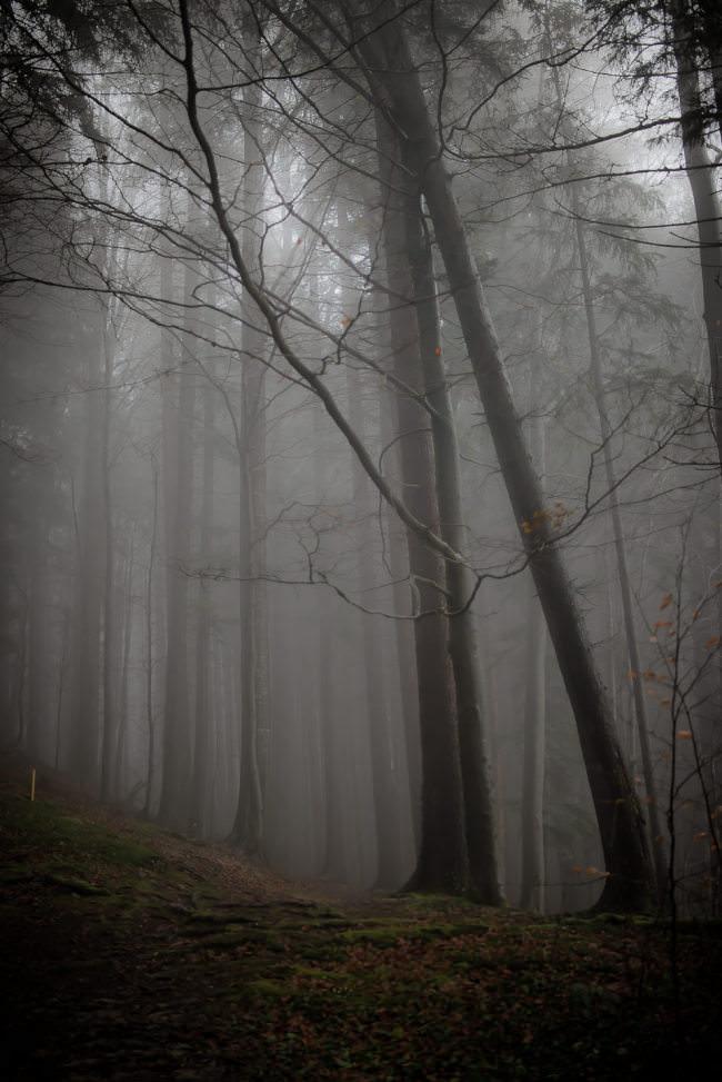 Bäume in einem nebligen Wald.