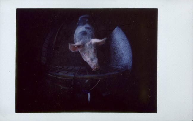 Schwein im Stall. Perspektive von oben.