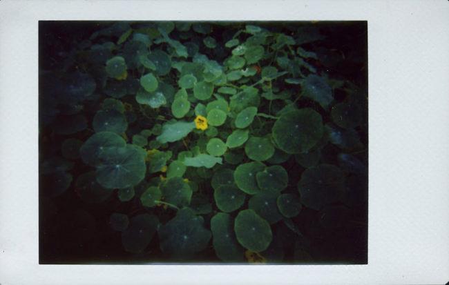 Kapuzinerkresse mit Blüte
