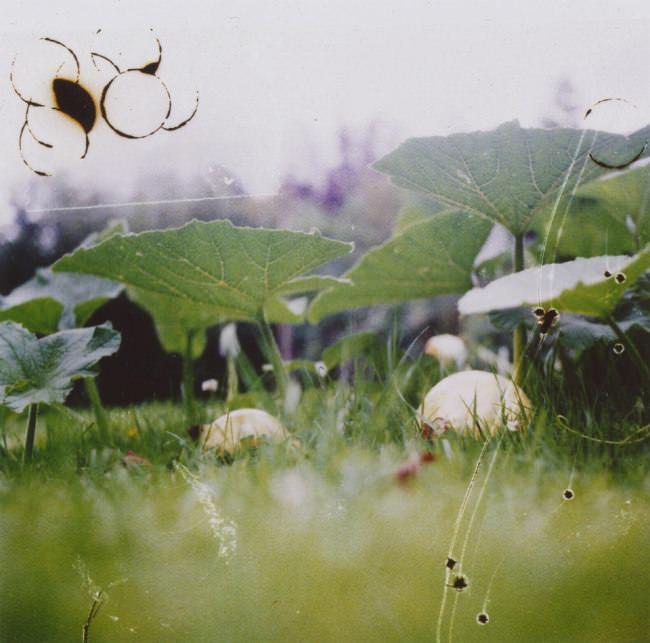 Kürbispflanzen im Gras und viele Schnitte und Katzer im Bild.