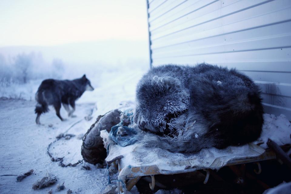 Ein Hund schläft im Schnee, ein anderer steht im Hintergrund.