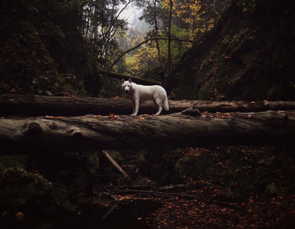Ein Hund ballanciert auf Baumstämmen.