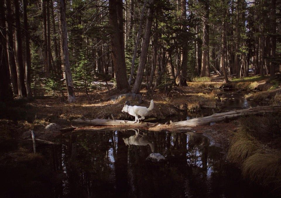 Ein Hund rennt über einen im Wasser liegenden Baumstamm.