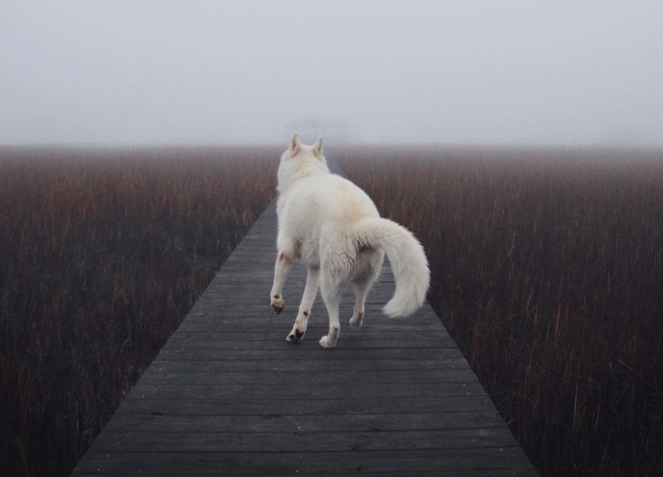 Hund rennt einen Holzpfad entlang.