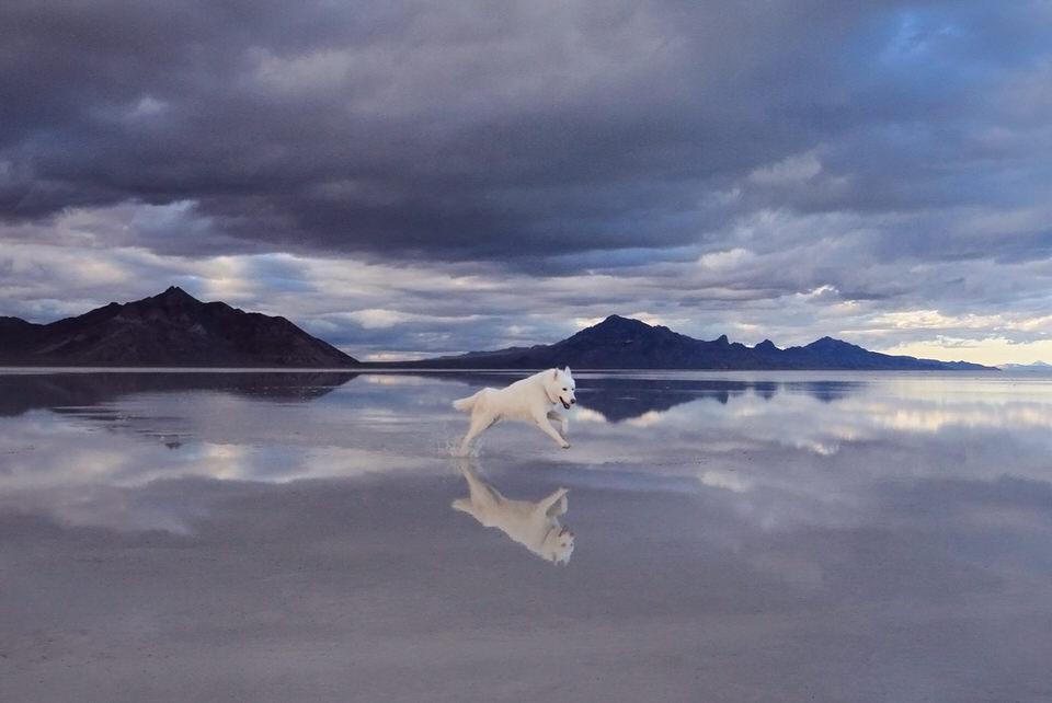 Wolfshund springt über das Wasser und spiegelt sich darin.