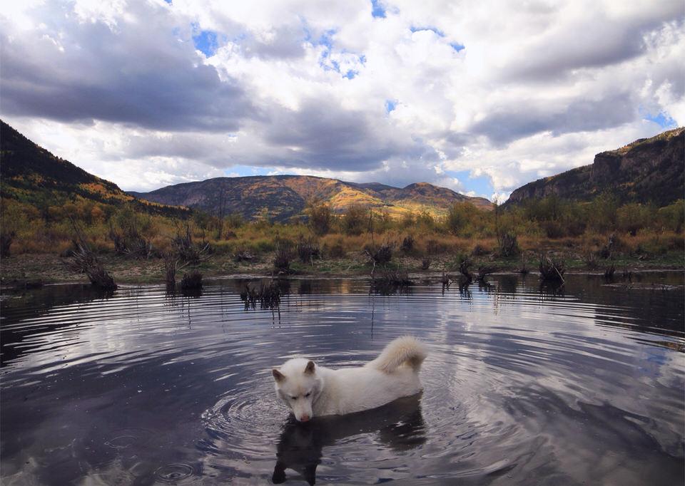 Ein weißer Wolfshund steht im Wasser.
