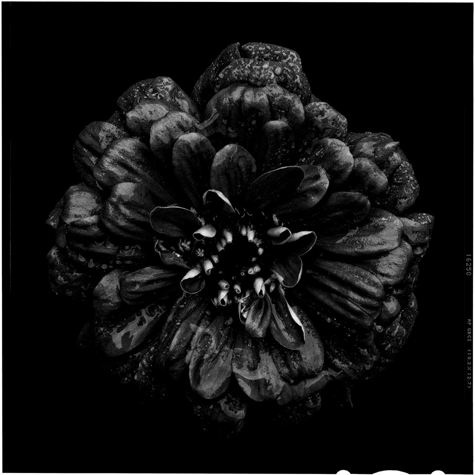 Schwarze Blume mit schwarzem Hintergrund.