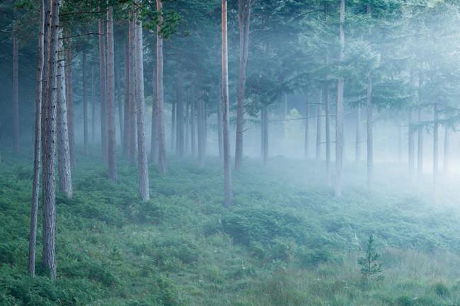 Neblige Schonung in einem Kiefernwald.