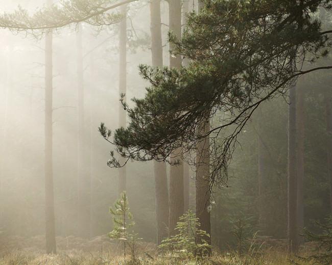 Zartes Morgenlicht stößt durch den Morgennebel in einem Kiefernwald.