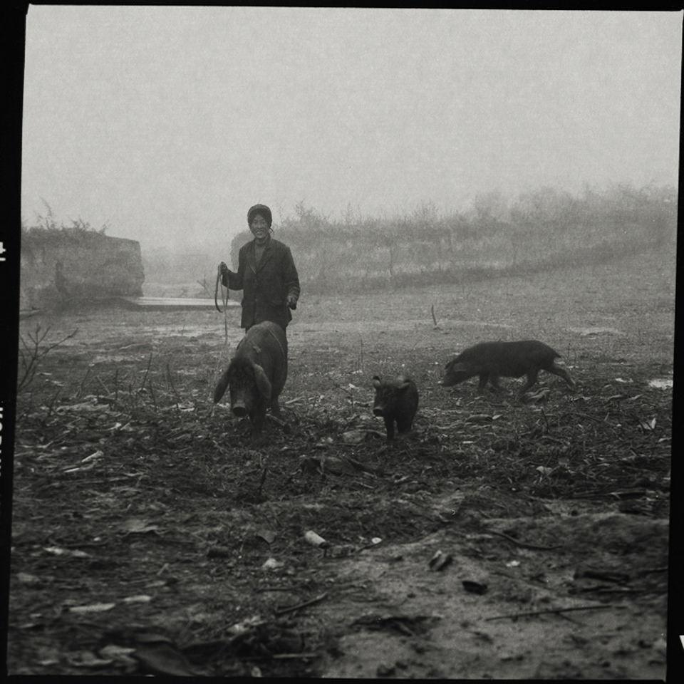 Ein chinesischer Bauer hütet Schweine.