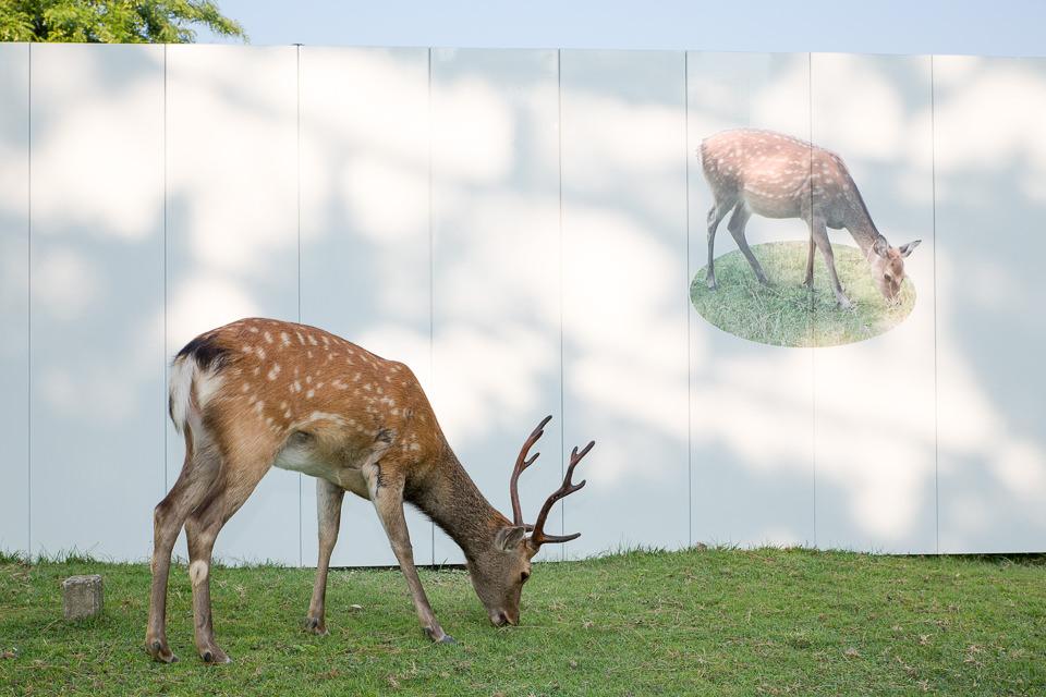 Ein Sika-Reh grast vor dem Bild eines Sika-Rehs.