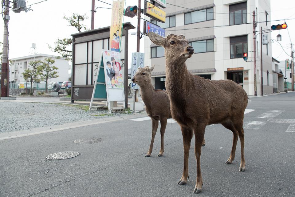 Zwei Rehe stehen auf einer Straße und schauen in die Gegend.