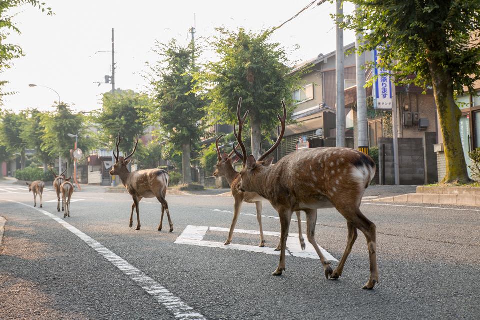 Eine Gruppe Rehe läuft eine Straße entlang.