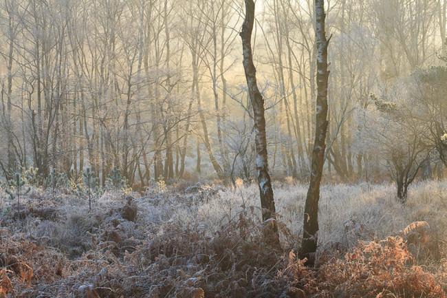 Von Raureif bedecktes Unterholz an einer Birkenwaldschonung.