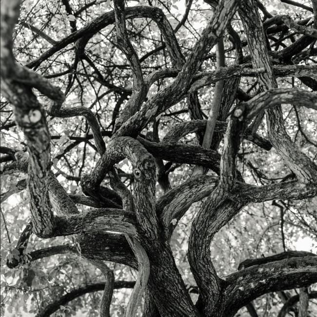 Verschlungene Äste eines Baumes.