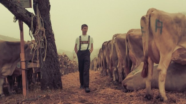 Ein junger Mann geht an einer Reihe Kühe entlang.