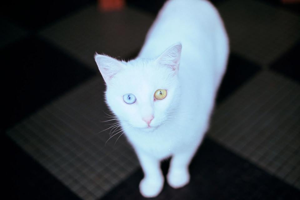 Eine Katze mit unterschiedlicher Augenfarbe schaut dich an.