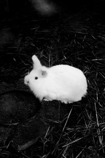 Ein weißes Kaninchen