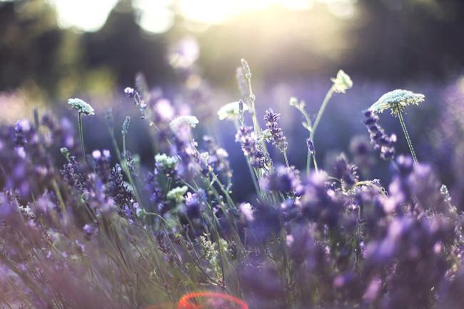 Lavendelblüten mit Sonnenflecken