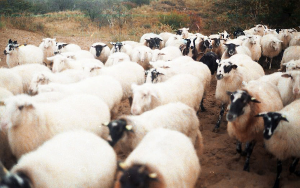 Eine Herde Schafe läuft vorbei.