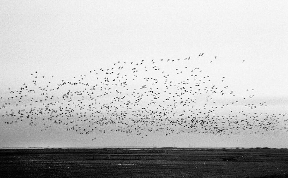 Ein Schwarm Vögel in schwarzweiß.