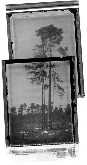Gescannte Negative von Bäumen