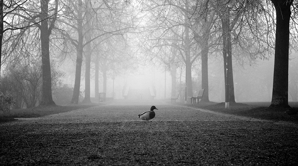 Ente allein auf Allee im Nebel