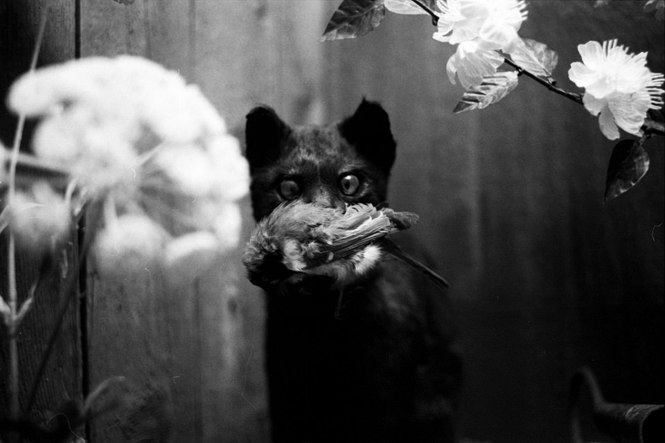 Schwarze Katze mit totem Vogel im Maul, zwischen weißen Blüten.