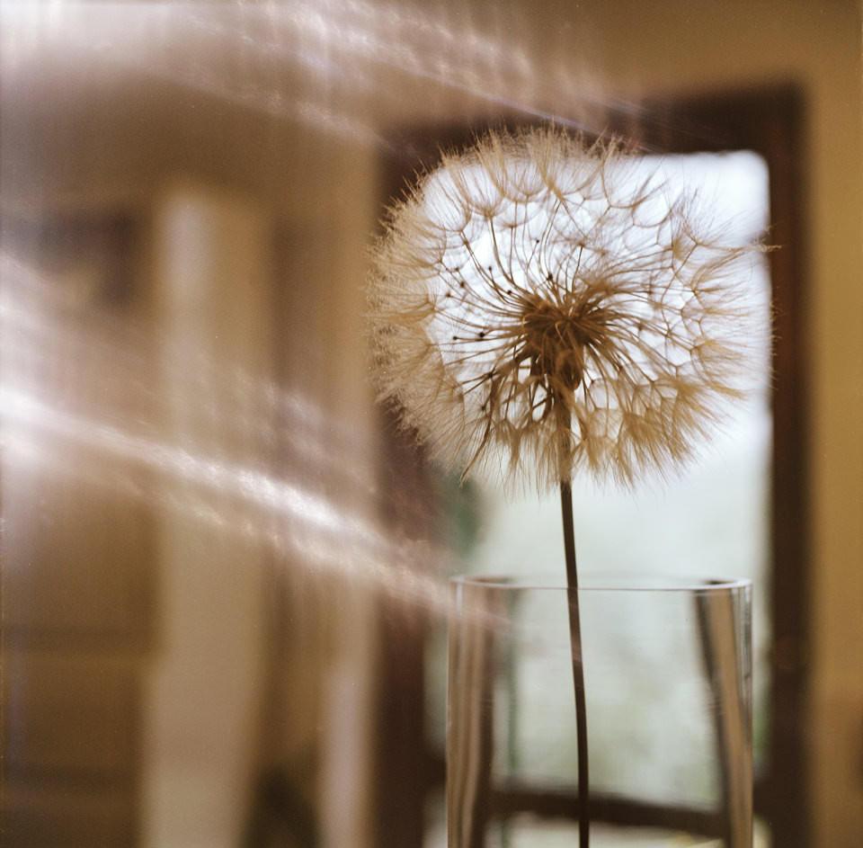 Eine Pusteblume im Glas