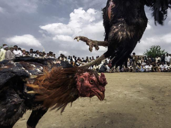 Hahnenkampf mit pakistanischen Zuschauern im HIntergrund.
