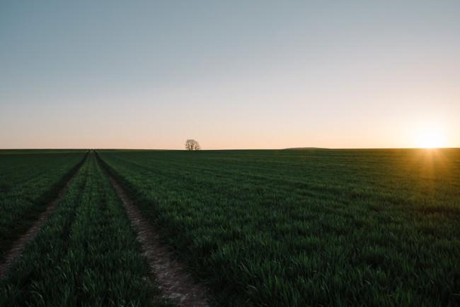 Sonnenuntergang am grünen Feld mit Baum am Horizont