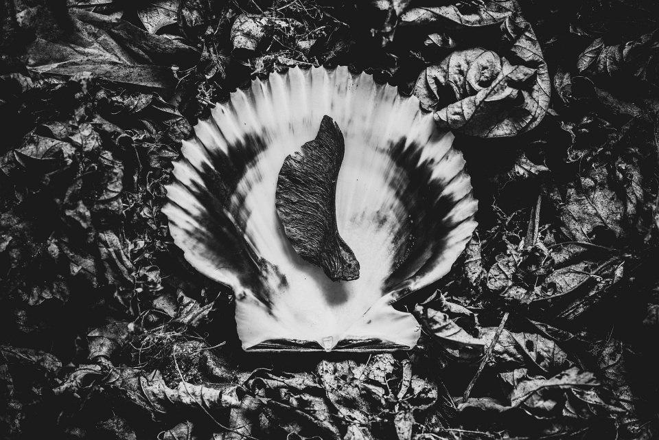 Ahornnase auf einer Muschel, die im Laub liegt.