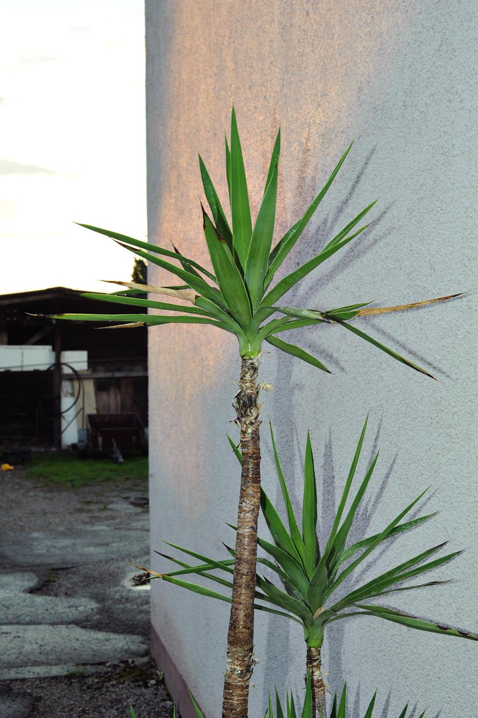 Palmen stehen an einer Häuserwand.