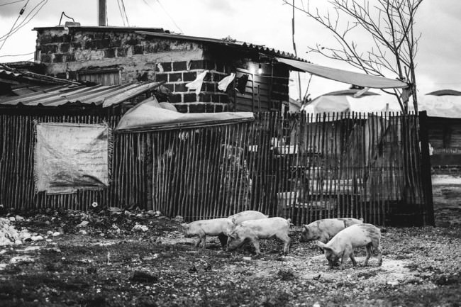 Schweine hinter einer Baracke