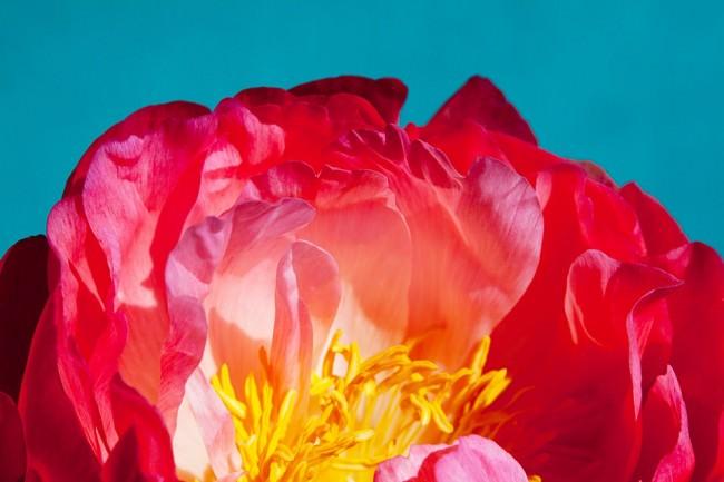 Rote Blütenblätter in Nahaufnahme vor einem blauen Hintergrund.