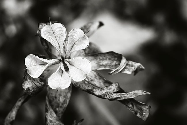 Vertrocknete Blüte vor unscharfem Hintergrund.
