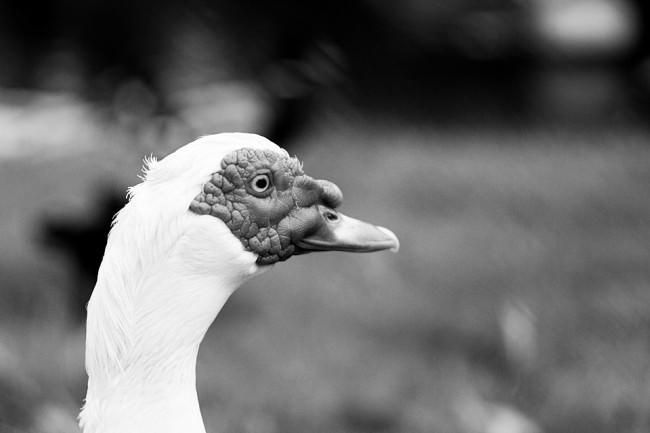 Kopf eines Vogels vor unscharfem Hintergrund.
