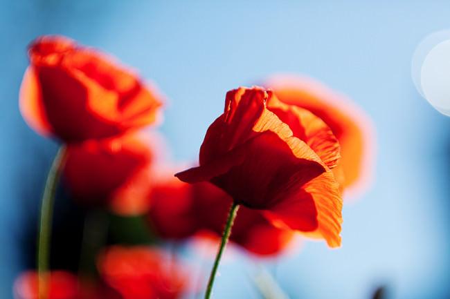 Rote Mohnblüten vor blauem Hintergrund.