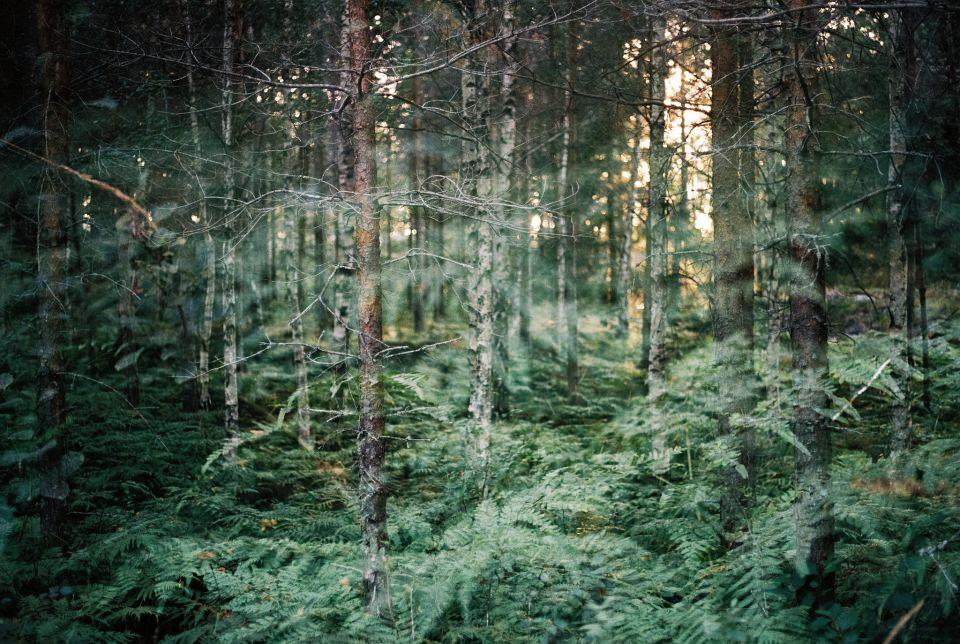 Blick in einen Wald, überlagert von einem Foto von Farnen.