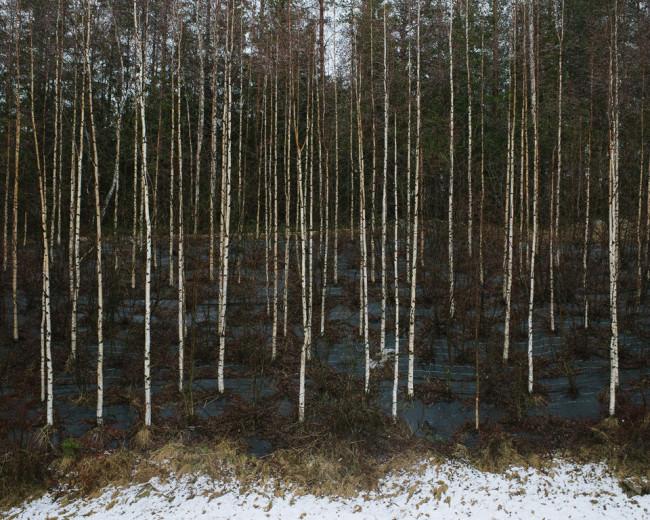 Blick in einen Birkenwald.