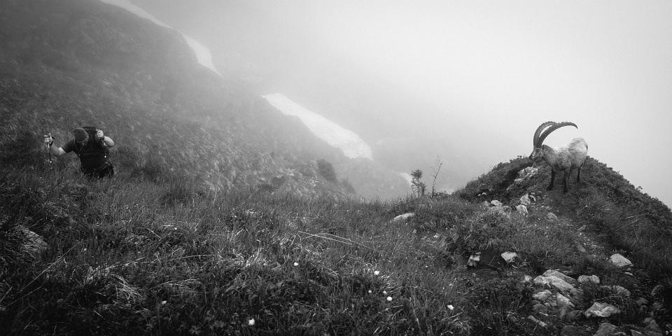 Steinbock und Bergsteiger auf einer Bergwiese im Nebel.