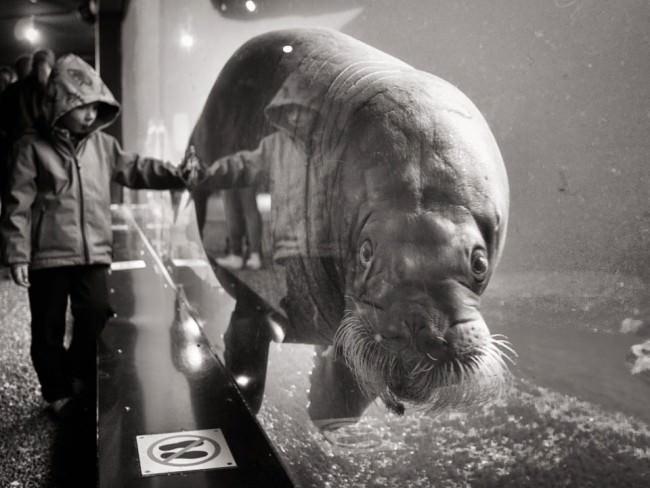 Ein Kind hat seine Hand auf eine Scheibe im Aquarium gelegt, hinter der ein Manati im Wasser schwebt.